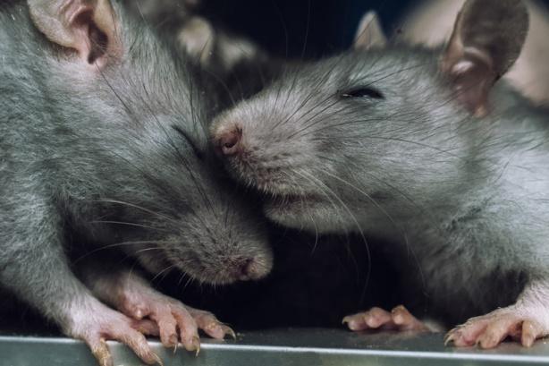 ratas.gigantes.jpg